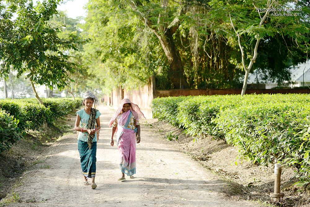 インド・アッサムの紅茶農園
