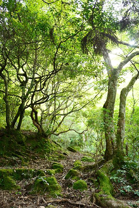 宮島の原始林